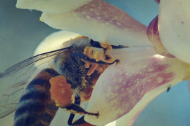 An image of a bee collecting pollen
